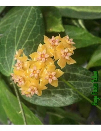Hoya fitchii yellow  ( rooted cutting )